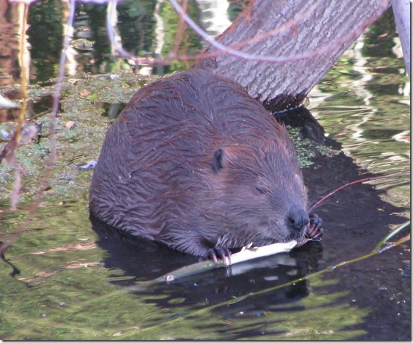 Beaver Chewing
