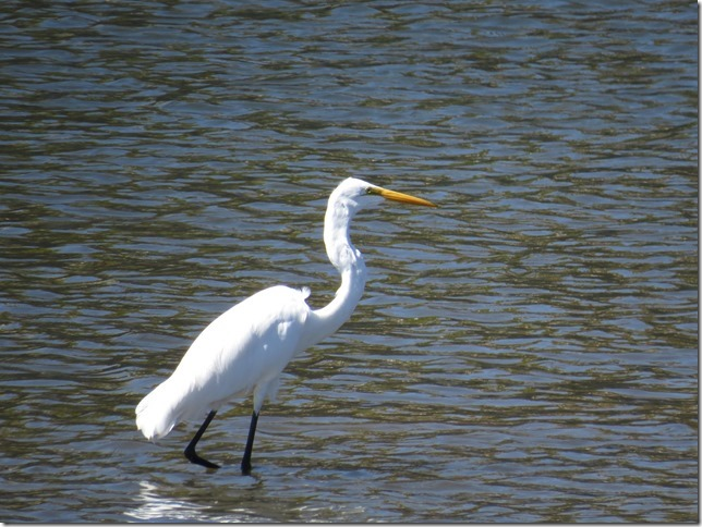 Great Egret Napa River