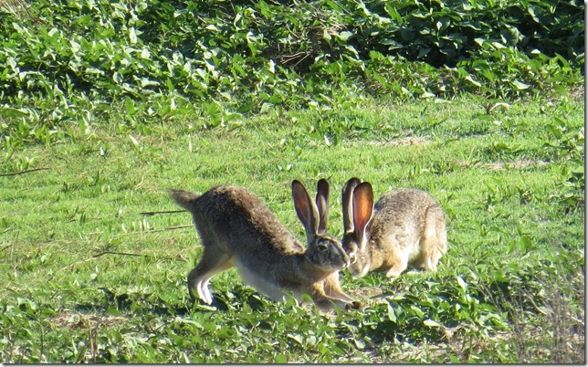 Rabbits along the River